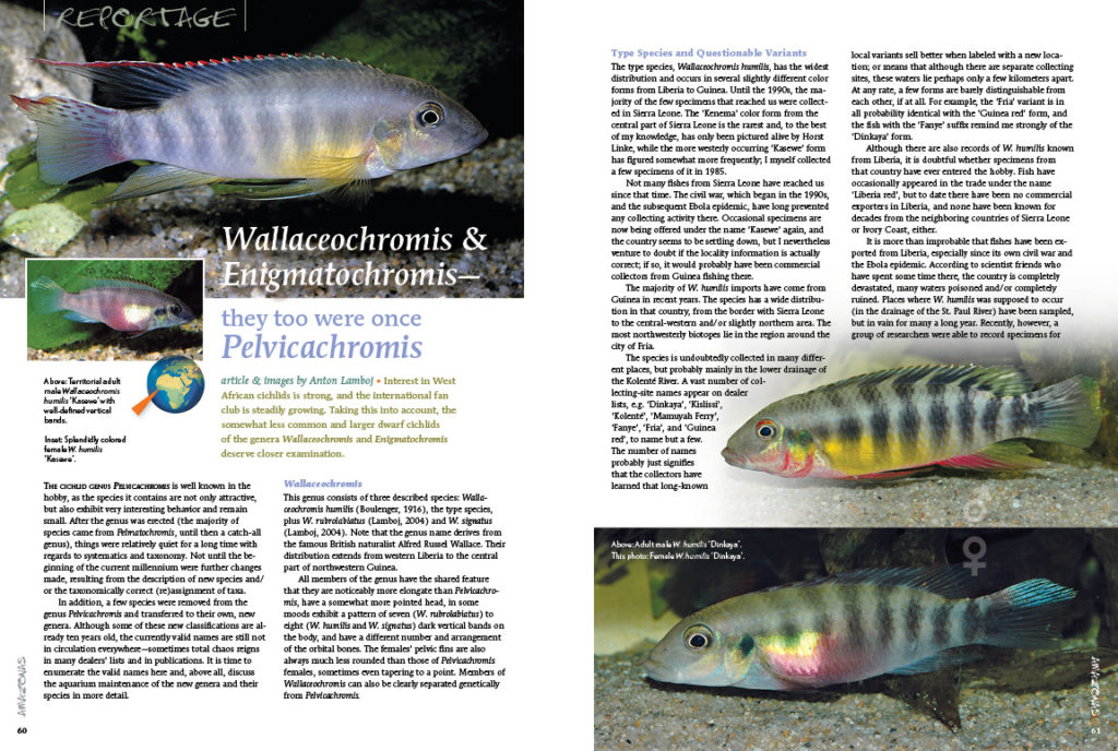 Wallaceochromis & Enigmatochromis—they too were once Pelvicachromis. Anton Lamboj offers a closer examination of the less-common dwarf cichlids from West Africa.