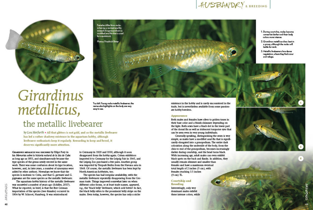An example of a vastly underappreciated species that ought to be more readily available in the aquarium hobby, Lou Herforth shares the husbandry and breeding of the Metallic Livebearer, Girardinus metallicus.