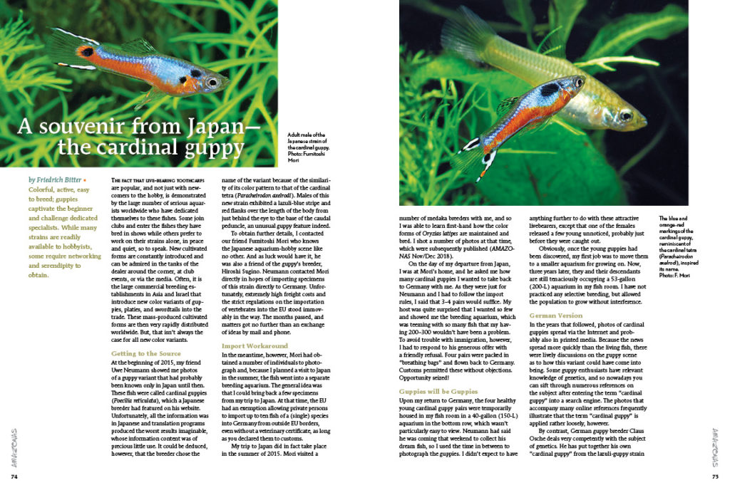 The Cardinal Tetra is rather familiar, but have you seen the lookalike Cardinal Guppy? Friedrich Bitter discusses two distinct new guppy strains with convergent appearances.