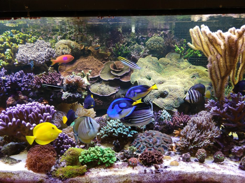 The several-hundred gallon reef aquarium is an integral teaching tool for Augsburg biology students. Many fishes are actively spawning in this system. Image credit: Bill Capman