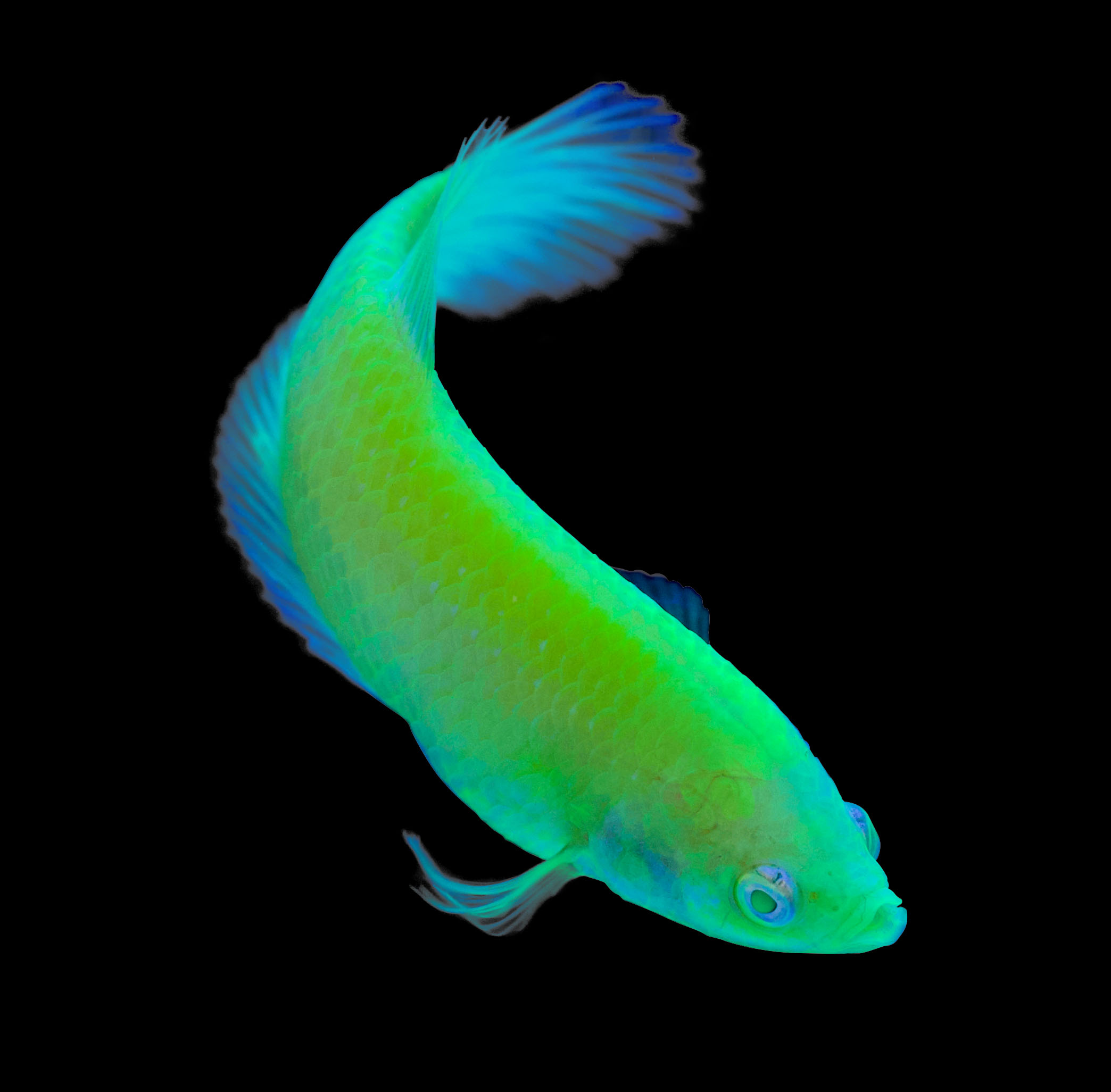 Female GloFish® Betta in Electric Green®. Image from Spectrum Brands, Inc.