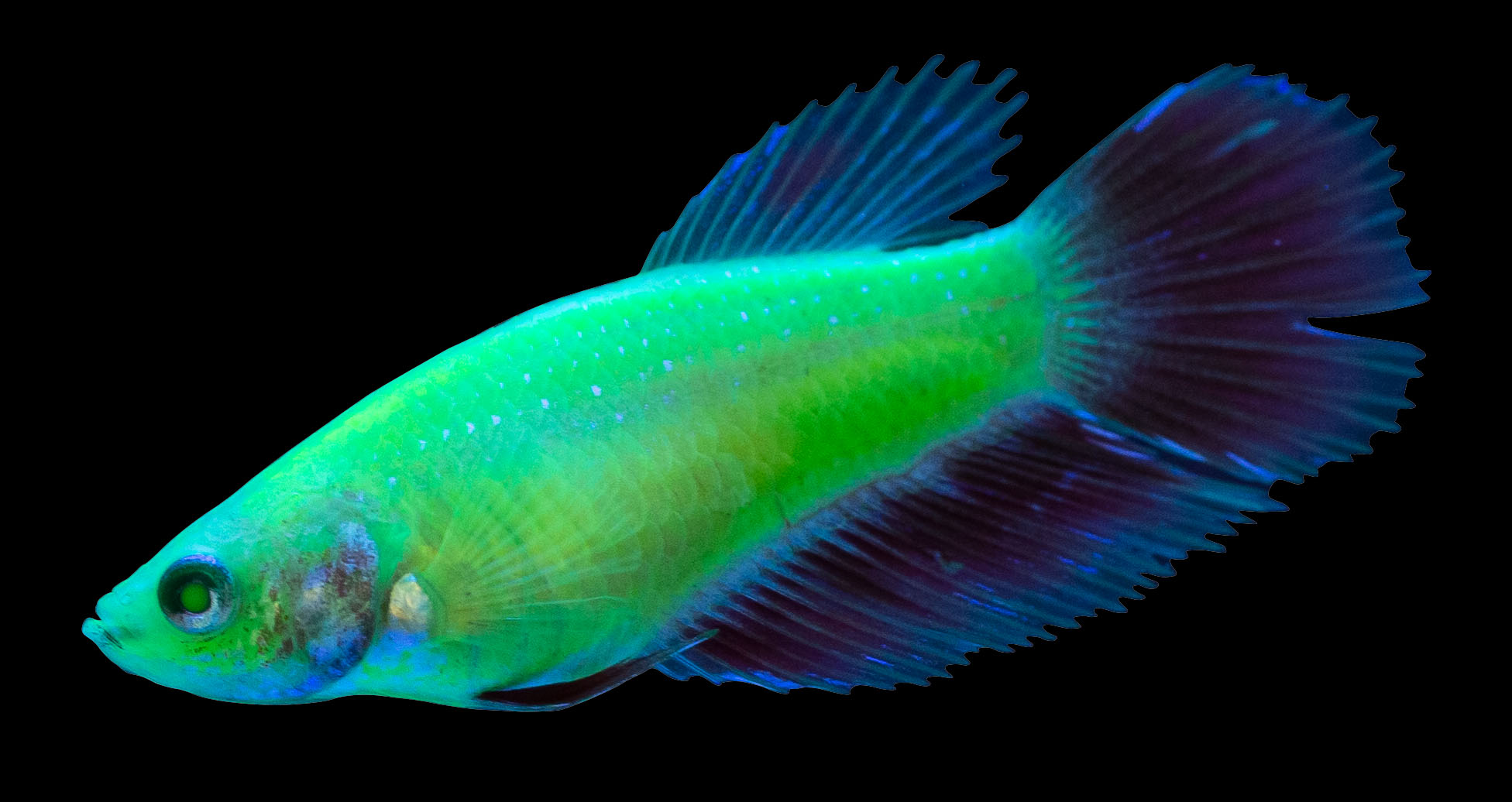Standard male GloFish® Betta in Electric Green®. Image from Spectrum Brands, Inc.