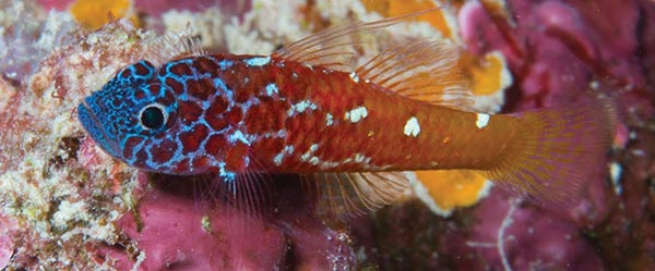 Trimma lanata, seen here at Milne Bay, PNG, has a beautiful blue face. Image by Mark V. Erdmann