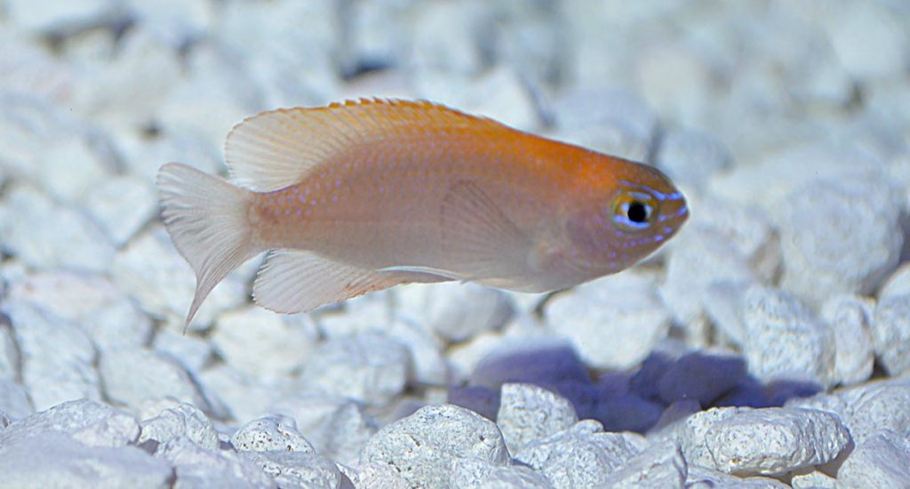 With a pink-to-lavender body, goldenrod back, and blue facial markings, the Pink Smith or Smith's Damselfish has a pleasing appearance that would stand out in a group display.