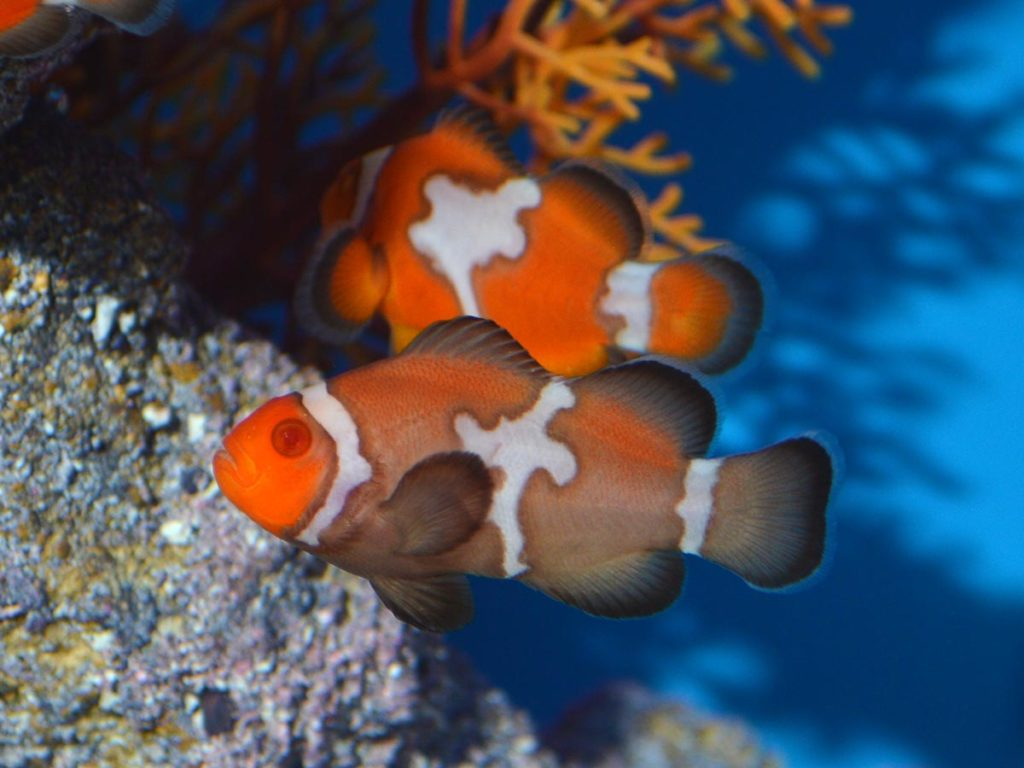 The reduced production of black pigmentation is a peculiar feature of albinism in clownfish, as we generally think of albinism as the complete lack of melanin.