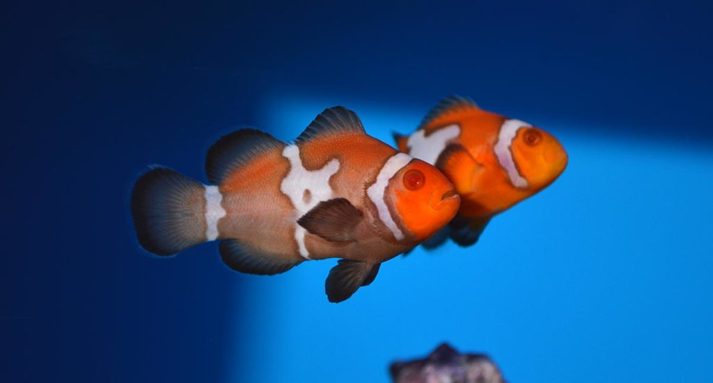 ORA's new Snow Zombie Clownfish on display at the 2020 Global Pet Expo.