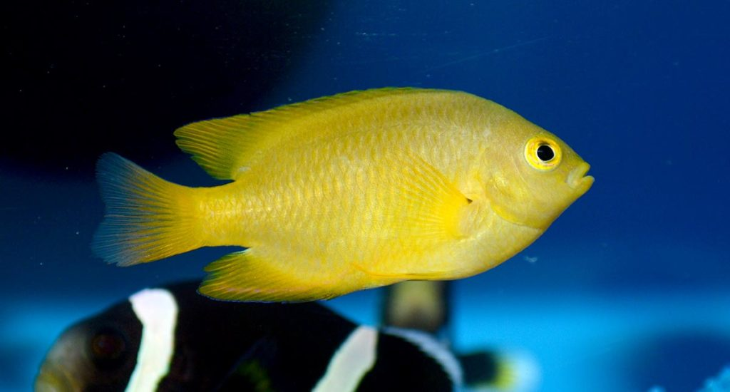 ORA's Lemon Damselfish, Pomacentrus moluccensis, were well-grown, large and impressive.