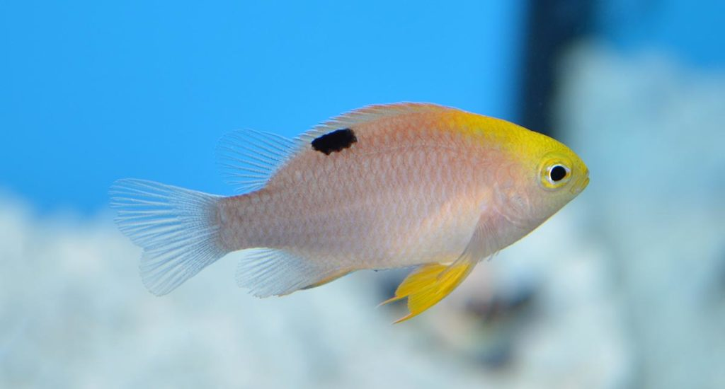 ORA's captive-bred Talbot's Damselfish, Chrysiptera talboti, are one of several species that have been produced routinely by the hatchery. ORA's newest introduction is similar at first glance.
