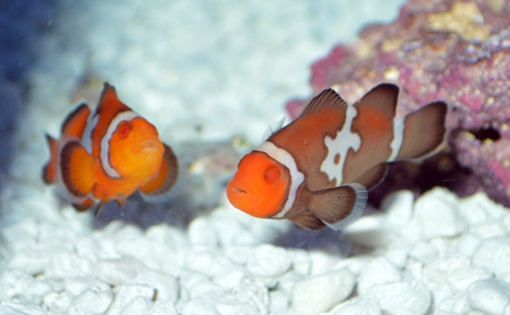 "It's entirely conceivable that with a few more generations we could have something like a ""Storm Longfin Zombie"" Ocellaris, and breeders could be putting together clownfish pairs that through a wide range of offspring genotypes in a single batch."