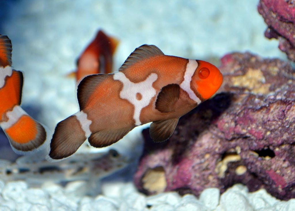 The genetics behind the Zombie Albino are clearly going to become another tool in the ornamental clownfish breeder's toolkit.