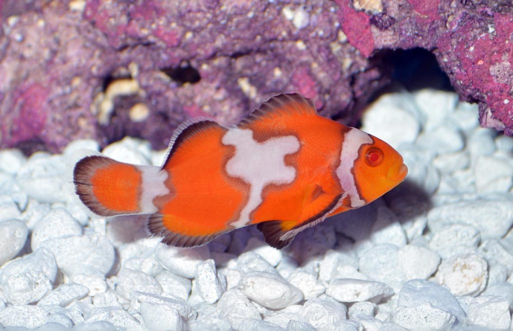 There is no official word yet on when ORA will release the Snow Zombie Clownfish to the aquarium trade, although it has been suggested that there may be a limited release in mid-April, 2020.