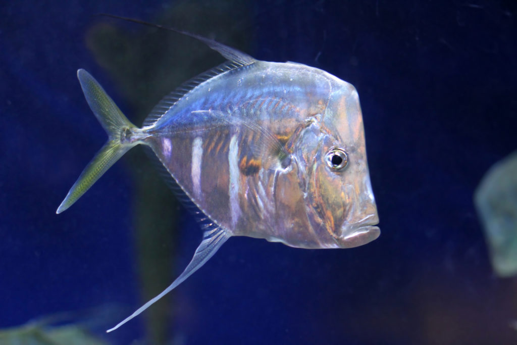 An adult Lookdown photographed at Newport Aquarium in Kentucky. Photo by Greg Hume - CC BY-SA 3.0