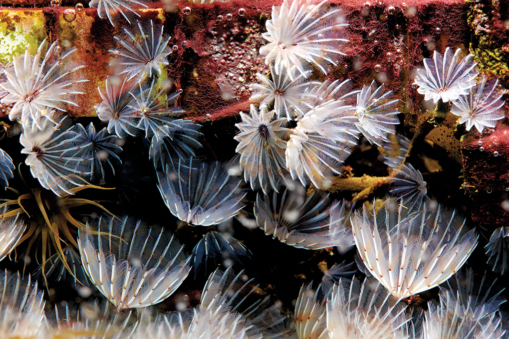 A frequent inhabitant of refugiums: pretty little Sabellid feather duster worms, Bispira viola.