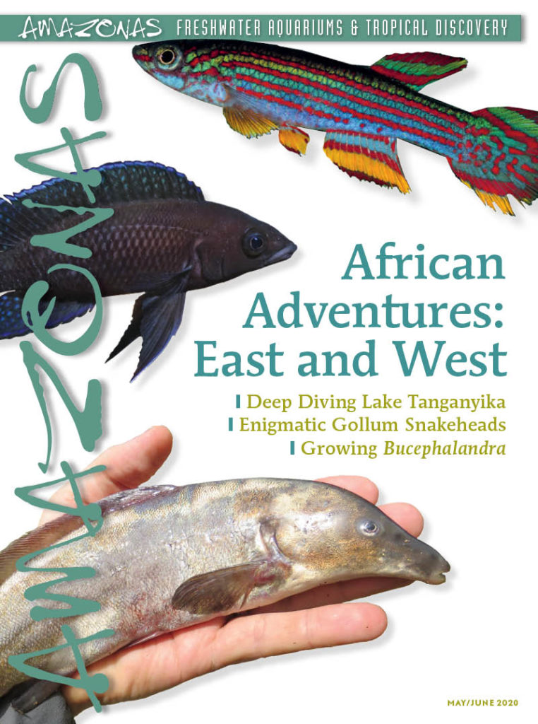 AMAZONAS Magazine, Volume 9, Number 3, AFRICAN ADVENTURES: East and West, on sale April 7th, 2020! On the cover: (top to bottom) Aphiosemion striatum GEGVPO 2018-1 'Movo', Neolamprologus leleupi longior 'Hapa Ingii Fara' dark morph, Mormyrus rume. Photos: Heinz Ott, Tautvydas Pangonis, Lawrence Kent