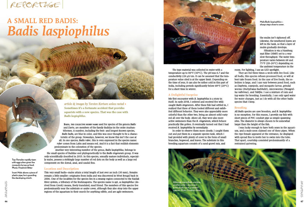 Sometimes, as Torsten Kortum reports, it's a fortunate accident that provides aquarists with a new species. That was the case with the small, red Badis laspiophilus.