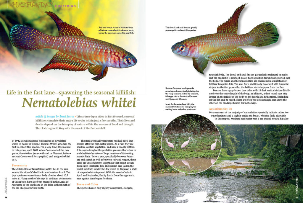 Like a time-lapse video in fast forward, seasonal killifishes complete their entire life cycles within just a few months. Their lives and deaths depend on the interplay of nature within the seasons of flood and drought. The clock begins ticking for Nematolebias whitei with the onset of the first rainfall. Ernst Sosna shares the secrets of spawning this impressive species.