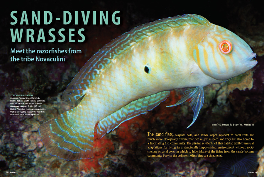 Scott Michael presents the sand-diving wrasses or Razorfishes from the tribe Novaculini. Most are aquarium obscurities, but one rather well-known species is a charming baby that is truly a dragon as an adult. Still, if you're willing to devote the time and effort, there are several worthwhile candidates for the marine aquarium.