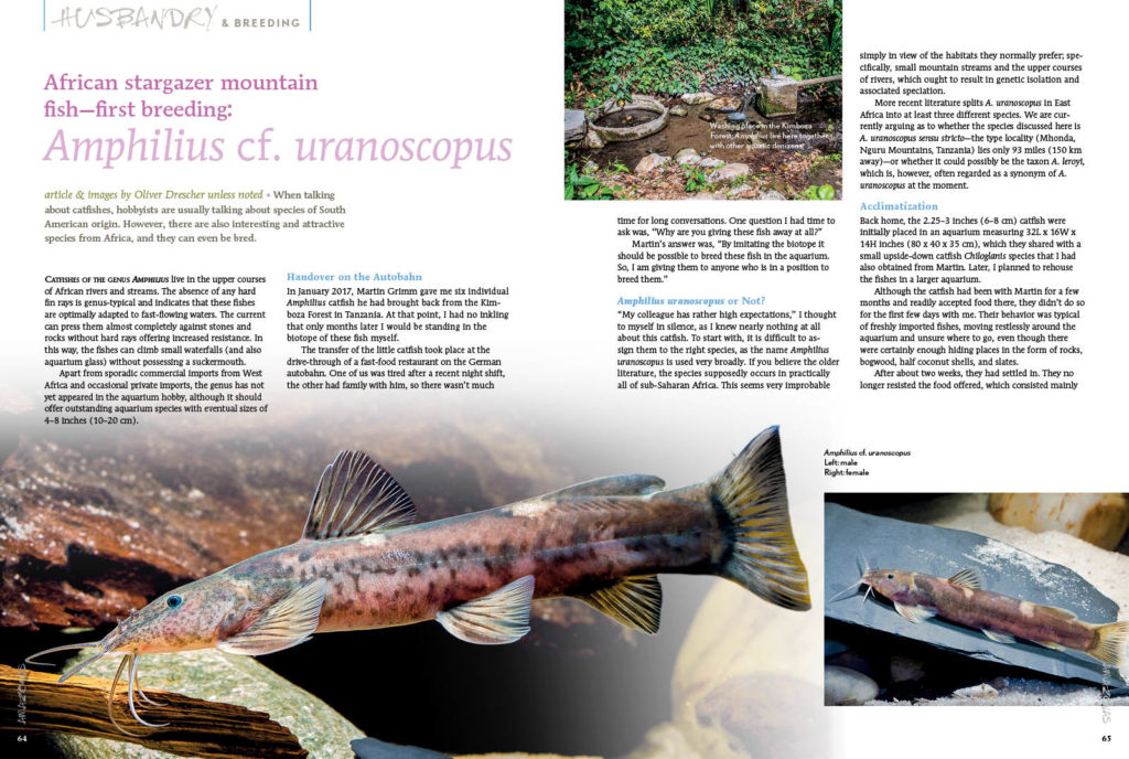 Oliver Drescher reports on the first breeding a piscine oddity most of you haven't even heard of—the African stargazer mountain catfish, Amphilius cf. uranoscopus!
