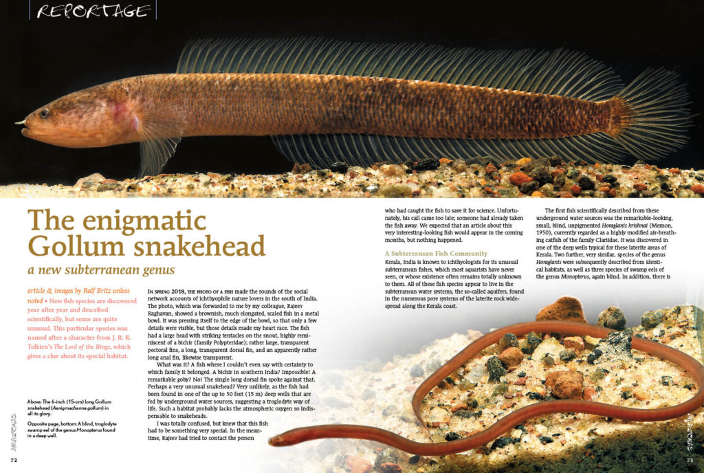 The enigmatic Gollum snakehead was named after a character from J. R. R. Tolkien's The Lord of the Rings, which gives a clue about its special habitat.