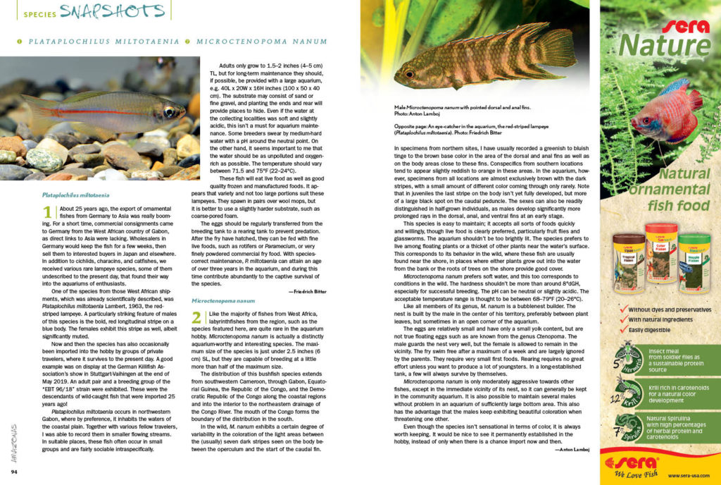 We round out every issue with AMAZONAS' Species Snapshots—concise glimpses at rare and unusual fishes showing up in the aquarium trade and hobbyist circles. In our latest installment, we give expanded coverage to two very unique species; Friedrich Bitter offers insights on Plataplochilus miltotaenia, and Anton Lamboj reveals the dwarf ctenopoma, Microctenopoma nanum.