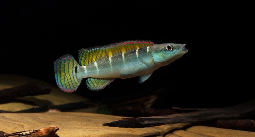 Crenicichla compressiceps is an interesting small pike Cichlid from the Lower Amazon.