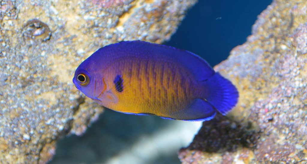 A first look at ORA's captive-bred Coral Beauty Angelfish.