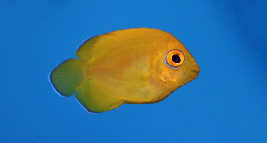 Nearly pristine, the first look at captive-bred Lemonpeel Angelfish, Centropyge flavissima, from ProAquatix.