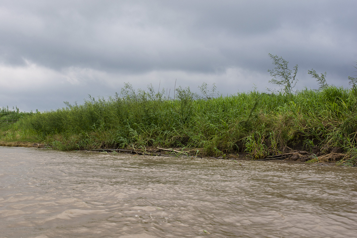 Murky, white water stretches of river are the preffered habitat of this shoaling species
