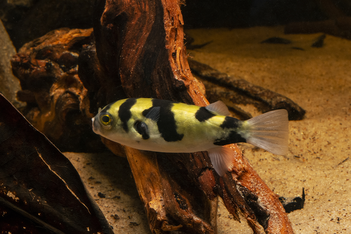 The Amazon Puffer (Colomesus asellus) is the only purely freshwater pufferfish species found in South America.