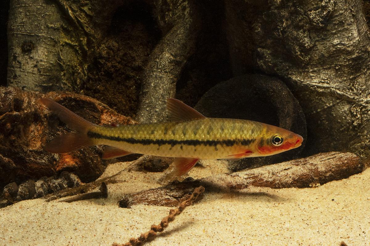 Leporinus brunneus