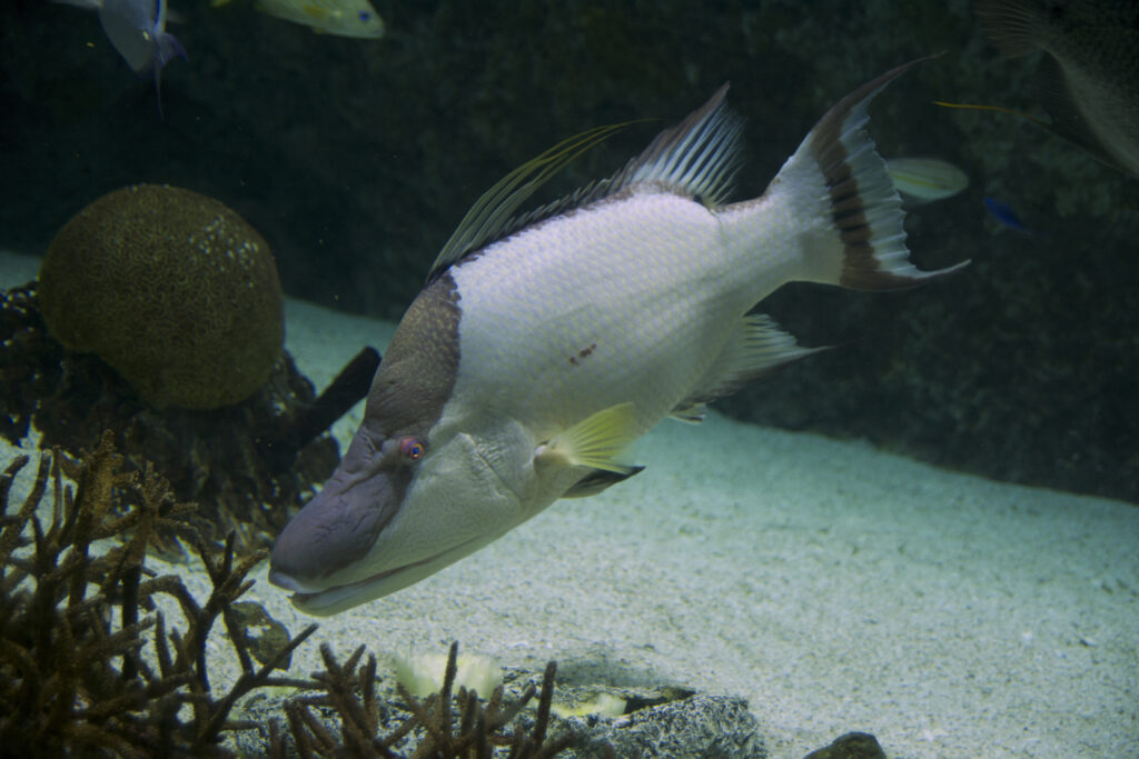 "A large Rooster or Maximus Hogfish on display at the National Aquarium of Baltimore. This species commonly reaches sizes of 14"" (30 cm) but has been recorded as large as 36"" (91 cm) and 24 lbs (11 kg), which means this species is primarily relegated to sportfish utilization and public aquarium display.  Image Credit: PlanespotterA320, CC BY-SA 4.0"