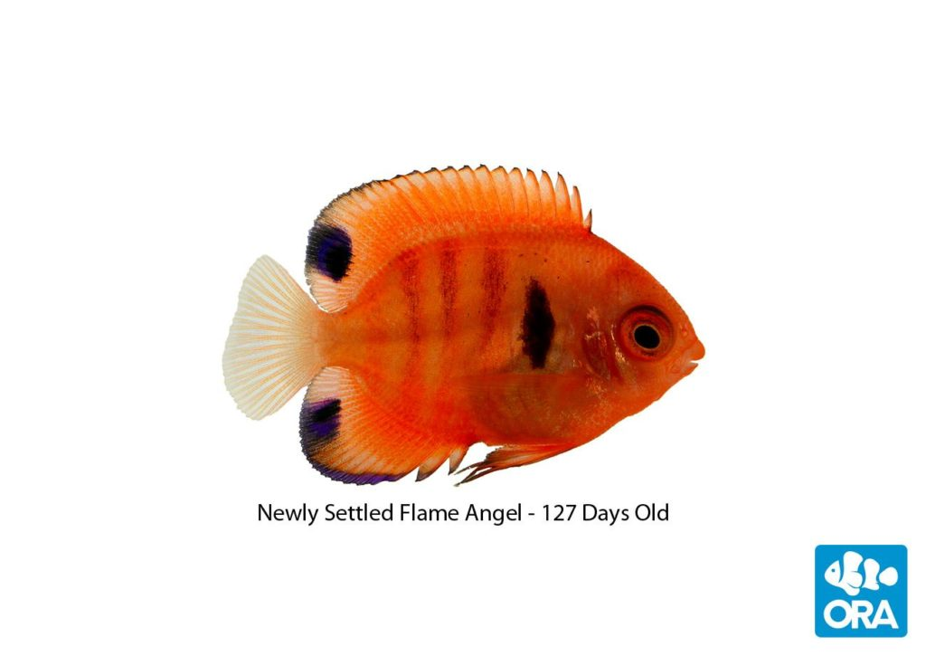 Newly-settled, 127-day-old, captive-bred Flame Angelfish, Centropyge loricula, revealed today by Florida-based ORA.