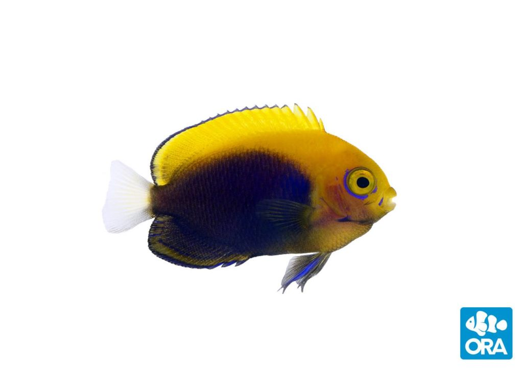 ORA's captive-bred Centropyge acanthops are due to start shipping to customers on Monday, April 20th, 2020.