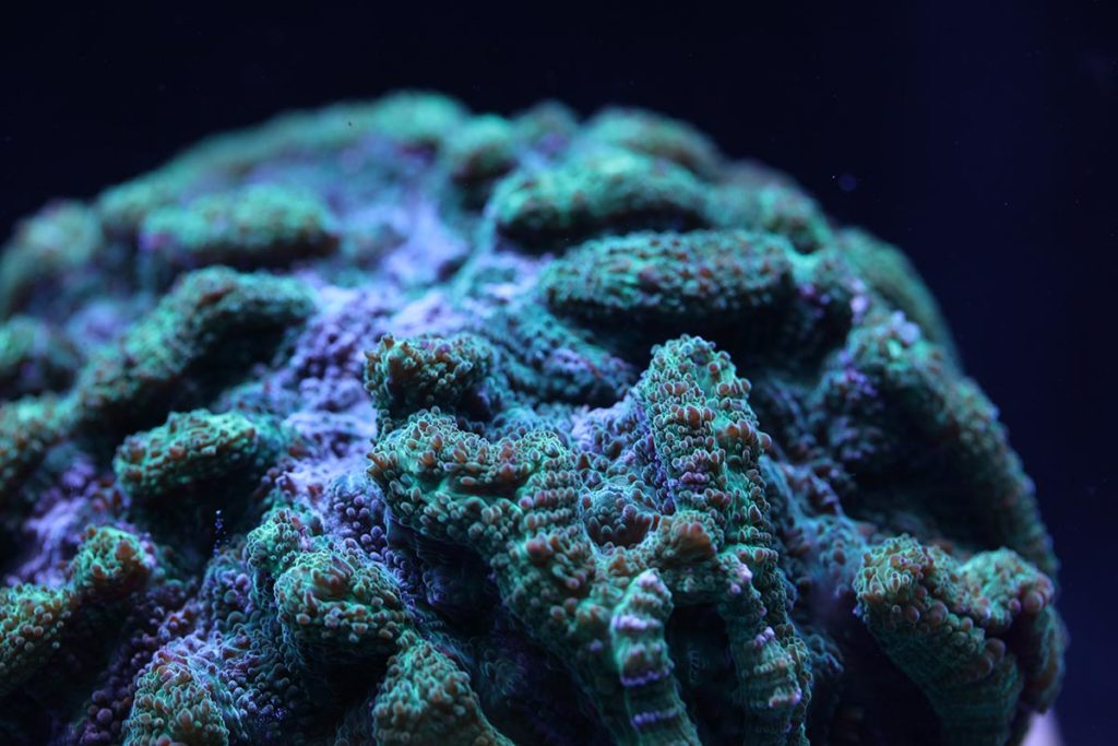 Broodstock of the Ridged Cactus Coral (Mycetophyllia lamarckiana), a native of the Caribbean, Bahamas, and Florida.