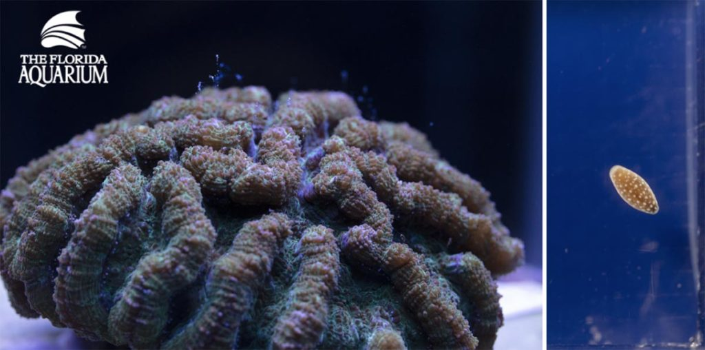 Side-by-side: Ridged Cactus Coral (Mycetophyllia lamarckiana) mother and captive spawned offspring (highly magnified) at The Florida Aquarium.