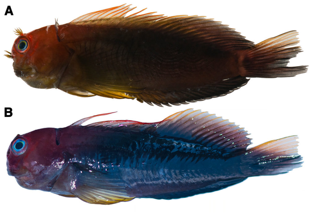 Photographs of freshly dead Cirripectes matatakaro sp. nov. specimens showing live coloration. (A) 60 mm SL adult male holotype (USNM 423364, Austral Islands). (B) 60 mm SL adult female paratype (USNM 409139, Marquesas Islands). Photographed by Jeffrey T. Williams, Smithsonian Institution.