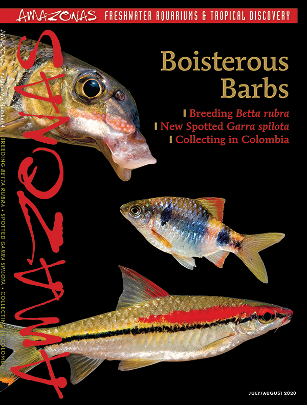 AMAZONAS Magazine, Volume 9, Number 4, BOISTERIOUS BARBS, on sale June 2nd, 2020! On the cover: (top to bottom) Hypselobarbus kurali, indigo barb (Pethia setnai), and Denison's barb (Sahyadria denisonii). Photos: Ralf Britz (top and bottom), V.K. Anoop (middle).