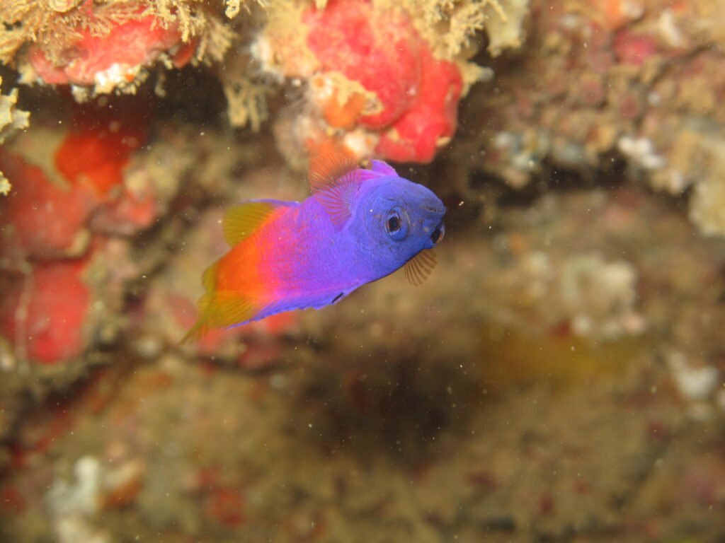A sister species to the well known Royal Gramma (Gramma loreto), the endemic Brazilian Gramma, Gramma brasiliensis, orients its belly to the bottom of an overhang on a reef off the coast of Espírito Santo, Brasil. This species had been in the trade prior to being banned, and thus could once again become available. Image credit: Daniel Filgueiras, CC BY 2.0