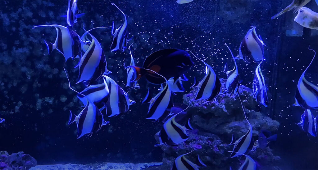 As of February, 2020, it had been 22 months with 25 Moorish Idols thriving with New Life Spectrum feeding.