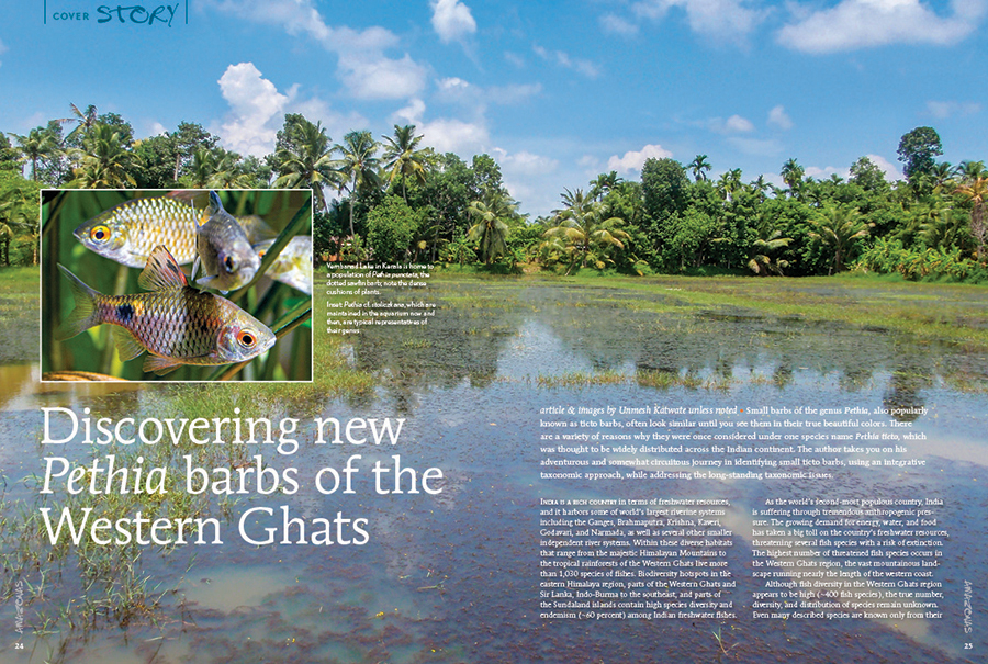 "Unmesh Katwate brings you a fresh story of ichthyological discovery, an adventurous and somewhat circuitous journey in identifying small ticto barbs, using an integrative taxonomic approach, while addressing the long standing taxonomic issues. Learn more in this cover story, ""Discovering new Pethia barbs of the Western Ghats."""