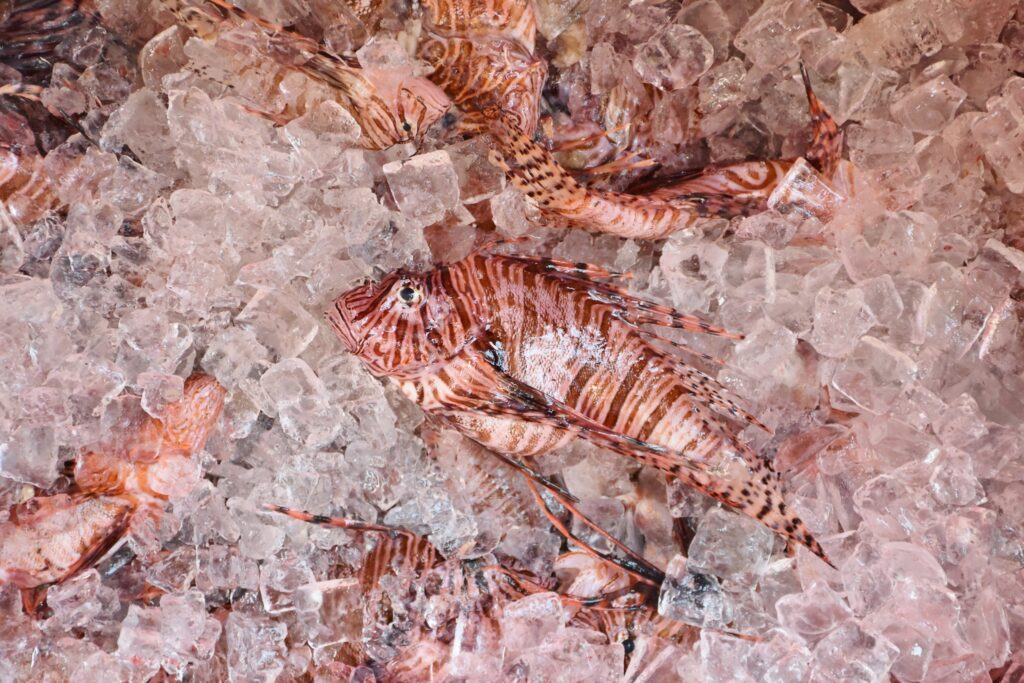 Invasive Lionfish on ice at the 2019 Lionfish Removal and Awareness Festival. Image credit: Bekah Nelson/FWC