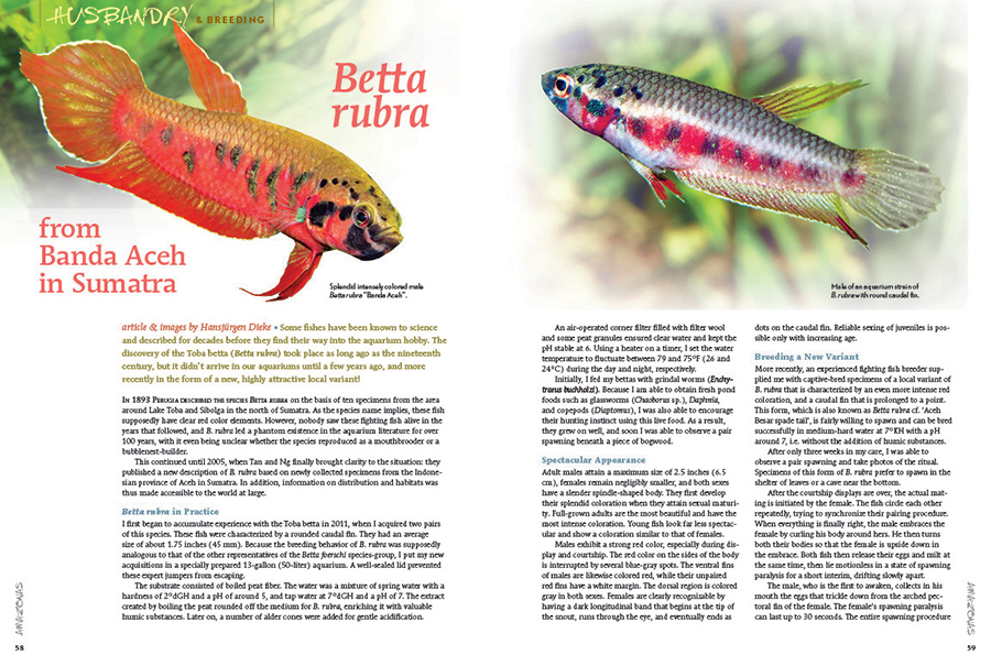 Betta rubra already had a devout fanbase among anabantoid lovers, but Hansjürgen Dieke is about to quicken pulses again with his story of the spade-tailed Betta rubra from Banda Aceh in Sumatra.