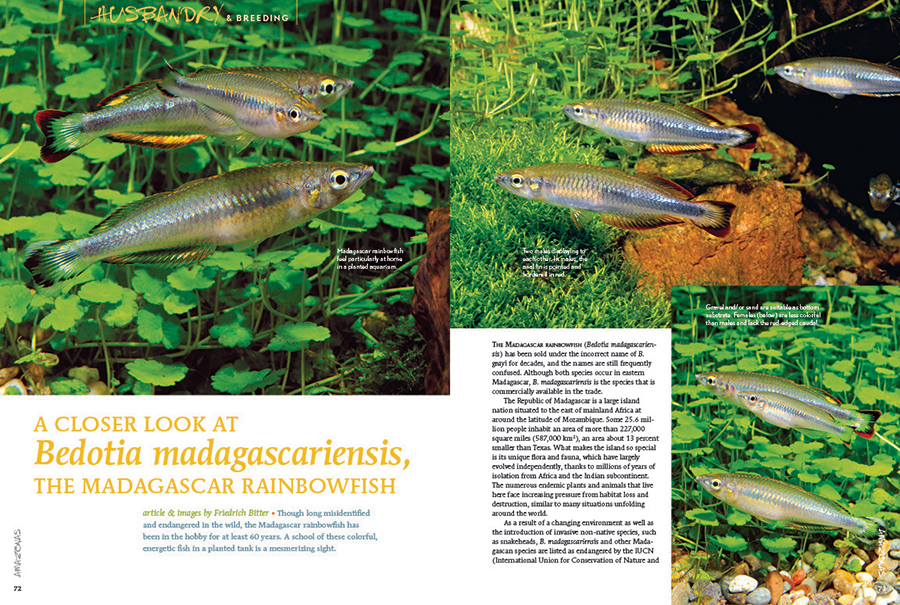 Friedrich Bitter reexamines a longtime classic favorite, offering a closer look at Bedotia madagascariensis, the Madagascar rainbowfish.