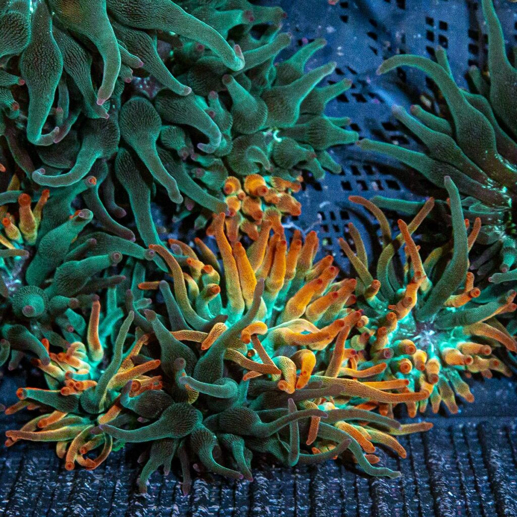 Several Nexus Burst Anemones of various grades being cultivated at Eye Catching Coral.