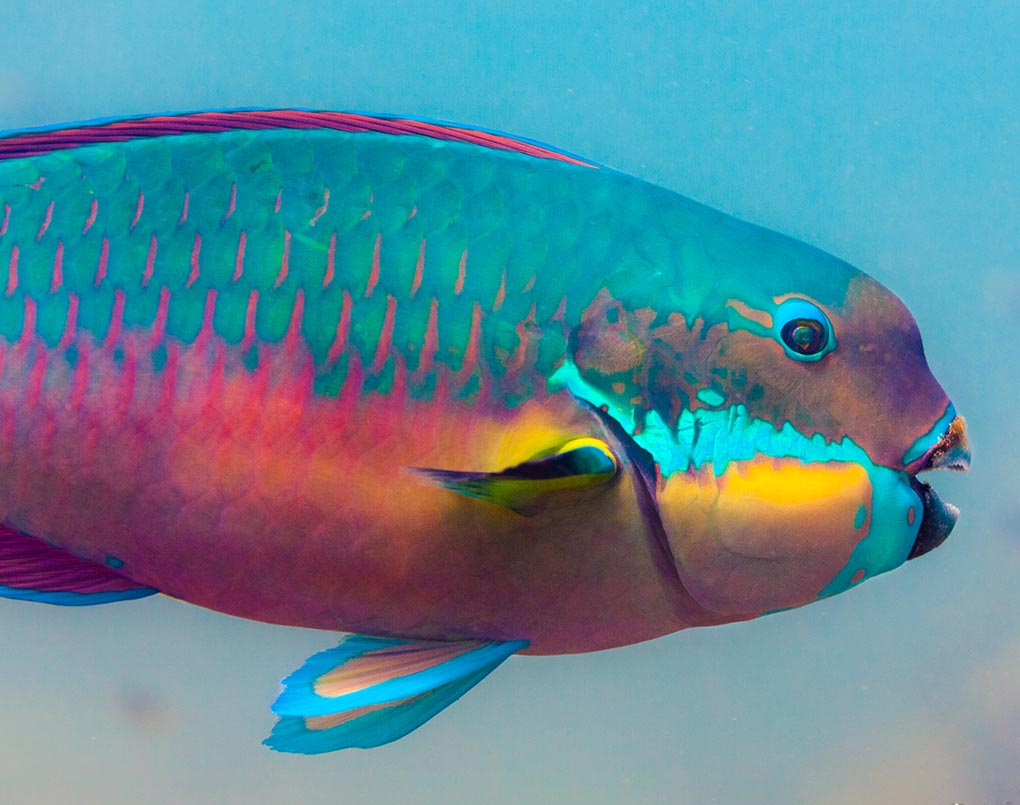 Steephead Parrotfish, Chlorurus microrhinos, a powerful grazer that can pave the way for new coral growth, which in turn will provide shelter for myriad smaller species. Image: Victor Huertas/JCU.