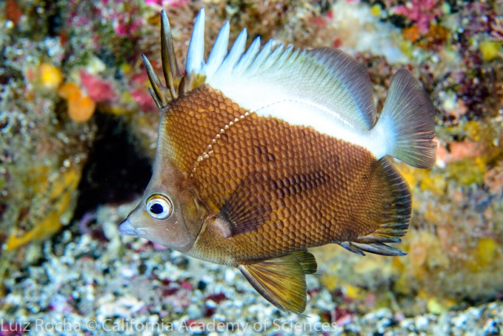 While the bright yellow Brazilian Butterflyfish could see a return to the aquarium trade, a double whammy of somber coloration and geographic restriction to the Saint Peter and Saint Paul Archipelago means that the Oblique Butterflyfish (Prognathodes obliquus) will likely remain uncollected by the aquarium trade. Image Credit: courtesy Luiz Rocha, PhD.