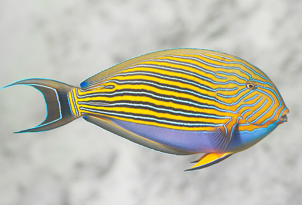 Lined Surgeonfish, <em>Acanthurus lineatus</em>, a large herbivore that's able to feed in the high-energy shallow waters and thus control algae and allow corals and other reef species to thrive. Image: Victor Huertas.