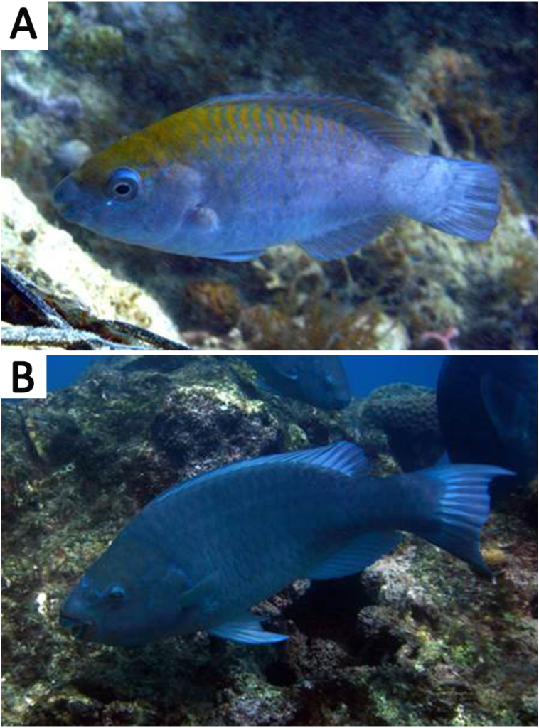 The Greenback Parrotfish, Scarus trispinosus, was prohibited from export, but that could now change. Potentially growing up to 22 inches (56 cm), whether this beautiful, deep blue fish should ever be collected and exported for aquariums is a separate dicussion. Shown here: (A) Juvenile specimen showing yellow area on nape. (B) Adult individual. Both images from the Abrolhos Bank reefs, Brazil. Photo by Ronaldo B. Francini-Filho. CC BY 4.0