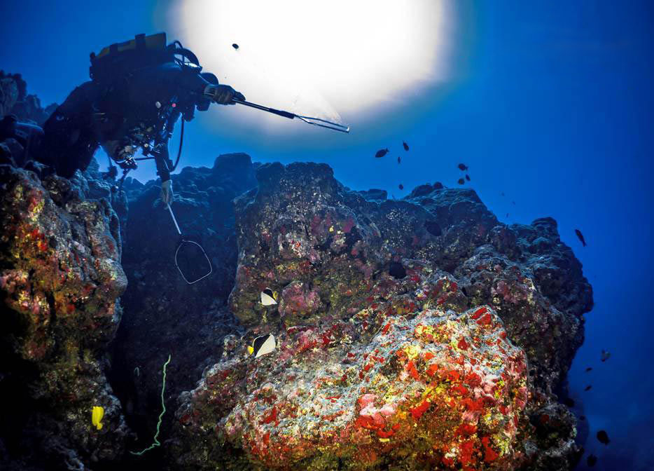Ron Tubbs collecting Tinker's Butterflyfish, utilizing a rebreather to reach these deepwater fishes on the Hawaiian reefs, in 2015. Fine mesh nets such as these are not currently permitted as part of the ongoing debate over the marine aquarium fishery in Hawaii. Image courtesy RT Distributors.