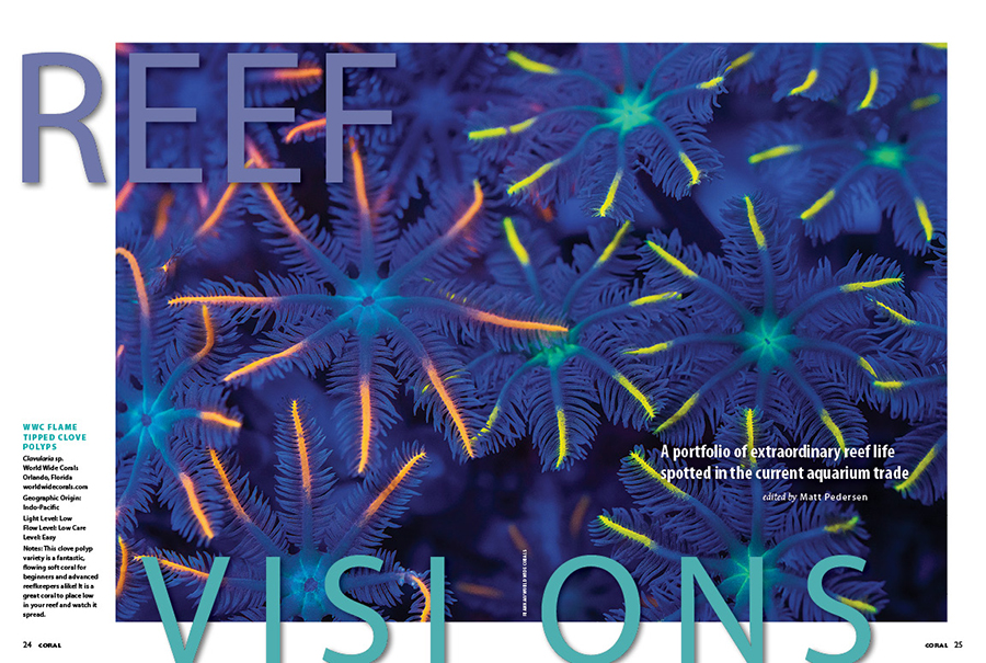 REEF VISIONS: A portfolio of extraordinary reef life spotted in the current aquarium trade. The fireworks may be pandemic-postponed or cancelled this year, but World Wide Corals puts on a show for everyone with their WWC Flame Tipped Clove Polyps as dusk falls over the reef tank!